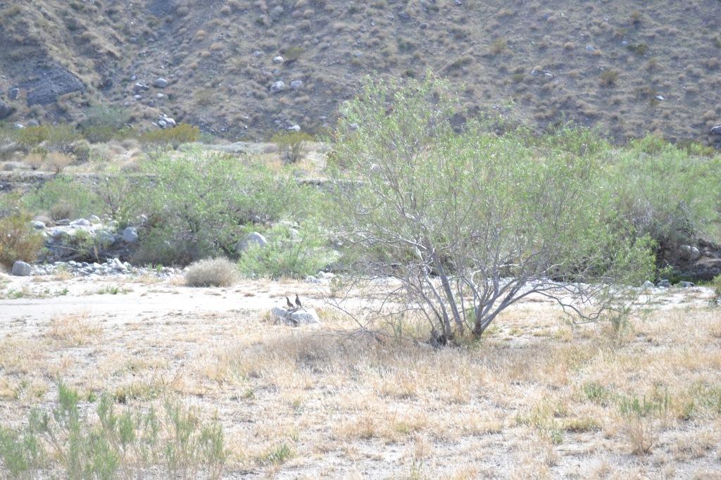desert quail