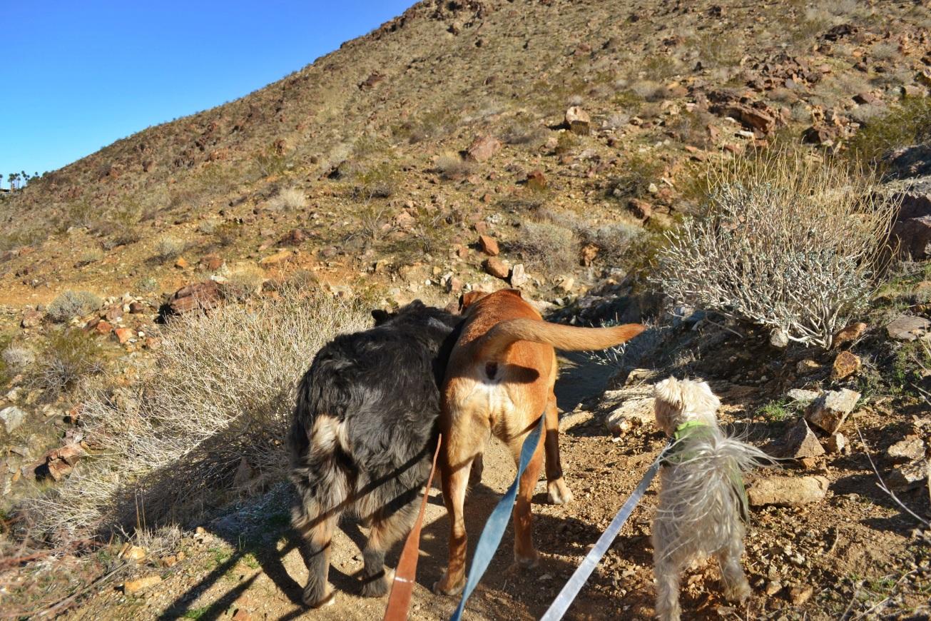 dog hike, desert dog treks, Palm SPrings hike, Earl Henderson Trail, dogs